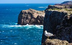 Here is my territory (werner boehm *) Tags: wernerboehm portugal möve seagull steilküste meer ozean ocean felsen cabosanvicente sagres faro