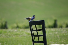 A Good Place to Take a Break (eyriel) Tags: bird birds nature wildlife chair macro bokeh