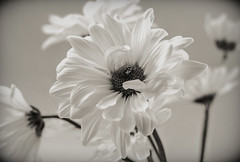 Time takes care of the few things, love takes care of the rest (Hanna Tor) Tags: nature plant flora flower hannator macro camomile love romantic blackandwhite monochrome stilllife garden summer white