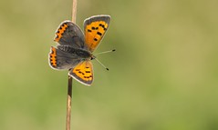 Small Copper (Lycaena phlaeas) (Bob Eade) Tags: butterflies lycaenidae butterfly eastsussex sussex southdownsnationalpark seaford copper smallcopper lepidoptera downland spring