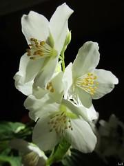 ღ Arco iris ღ ღ (Éric…Mon chemin ⊰♥) Tags: seringa flower nature canon blanc white mai may printemps 2017 spring