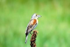 Dickcissel Summer (Patricia Henschen) Tags: dickcissel bird songbird grassland douglascounty palmerlake colorado rural backroad backroads