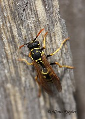 Die Fliege II (Klaus R. aus O.) Tags: fliege puppe mücke insekt wespe gelb flügel makro holz unschärfe