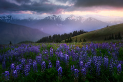 Lupine Sunset With Olympics At Sunset_720 (kevin mcneal) Tags: washington state pacific northwest olympic national park best places see wildflowers parks north america spring season seasons sunset clouds bailey range hurricane ridge lupine elwha flowers meadow mountain mountains peninsula river valley view wild olympics port angeles hike viewpoint deer mount olympus obstruction point road kevinmcneal kevin mcneal photography tours nikon d810 singhray filters