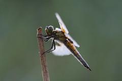 Libelle im Morgentau. Dragon fly in morning dew. (Xtraphoto) Tags: vierflecklibelle insekt earlymorning tautropfen tau morgentau dew libelle dragonfly