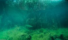 ASM Plongée, Brochet, Gravière du Fort - Site 4533.jpg (Hugues Brun) Tags: asmplongée site plongée gravièredufort animaux poissons brochet themes