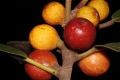 Ficus rubiginosa (andreas lambrianides) Tags: ficusrubiginosa moraceae rustyfig portjacksonfig australianflora australiannativeplants australianrainforests australianrainforestplants arfp nswrfp qrfp arffs subtropicalarf littoralarf yellowarffs redarffs