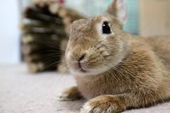 Ichigo san 793 (Ichigo Miyama) Tags: いちごさん。うさぎ ichigo san rabbitbunny netherlanddwarf brown ネザーランドドワーフ ペット いちご うさぎ rabbit