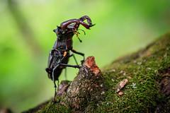 Lucanus Cervus (alexeysobolev1) Tags: bug insect makro wild nature forest duhovoe lucanuscervus lucanus photography photo planetphoto canon 80d