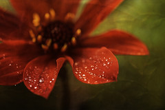 29/52: Come together...right now (judi may...mostly off for a while) Tags: 52weekchallenge collaboration textures layers flower red macro waterdroplets details dof depthoffield bokeh