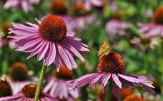 Big flower little butterfly