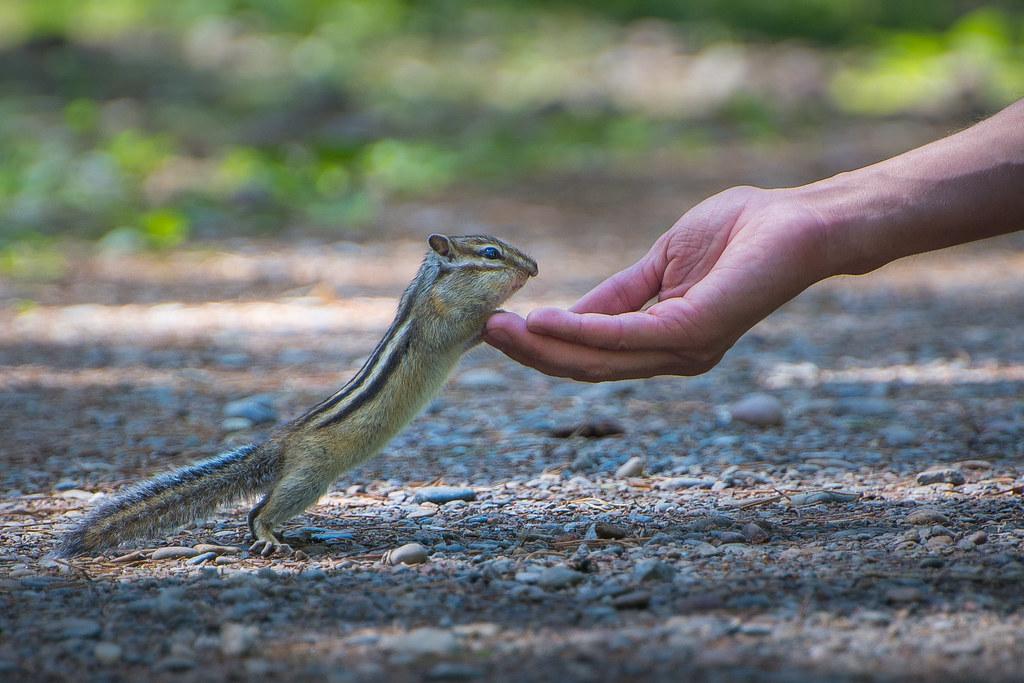 фото: Brave Sibirian Chipmunk