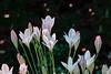 J20170720-0018—Triteleia peduncularis—RPBG—DxO (John Rusk) Tags: dxofujivelvia50preset ebparksok dxofilmpack taxonomy:kingdom=plantae plantae taxonomy:subkingdom=tracheophyta tracheophyta taxonomy:phylum=magnoliophyta magnoliophyta taxonomy:class=liliopsida liliopsida taxonomy:order=asparagales asparagales taxonomy:family=themidaceae themidaceae taxonomy:genus=triteleia triteleia taxonomy:species=peduncularis taxonomy:binomial=triteleiapeduncularis triteleiapeduncularis longrayedbrodiaea taxonomy:common=longrayedbrodiaea tepals