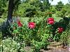 Hibiscus LSP DSC09851 (BayonneBirder) Tags: flower red hybiscus