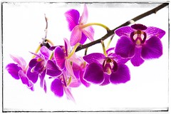 Day 199 - my lovely orchid (DenisePhoto1) Tags: light contrast colour purple orchid flower photoadayproject photoadaychallenge photoaday photoproject photochallenge july 365july 365photoadayproject 365photoadaychallenge 365photoproject 365photochallenge 365challenge 365project 365photo 365 199365 day199