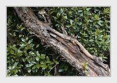 - DSC_1711 c. (Ferruccio Jochler) Tags: natura vegetazione ramo giardino