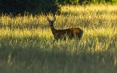 Roe deer, srna (Bojan Žavcer) Tags: roedeer srna animal wildlife canoneos7dmarkii ef600mmf4lisusm