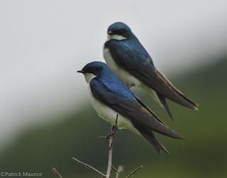 Tree Swallows [Explored]