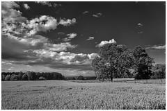 Getreidefeld und Baum
