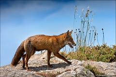 pointe du grouin (heavenuphere) Tags: pointedugrouin cancale illeetvilaine brittany bretagne france europe montsaintmichelbay baiedumontsaintmichel bay redfox red fox vulpesvulpes vulpes animal 70200mm