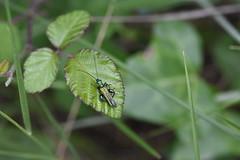 Oedemera nobilis (esta_ahi) Tags: carreradadecanràfols avinyonet penedès barcelona spain españa испания oedemera nobilis oedemeranobilis oedemeridae coleoptera insectos fauna