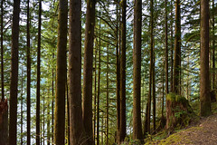 Golden Ears rain forest (drafiei1) Tags: rain forest rainforest tree trees green lush goldenears provincialpark park bc canada nature travel landscape plant outdoor