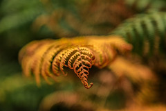 Changing Colours (microwyred) Tags: forestwoods ferns events nature biology leaf greencolor nopeople backgrounds wildlife macro fern forest outdoors plant closeup tree brown wildflowers
