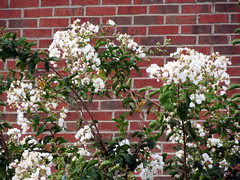 Flowering Tree. (dccradio) Tags: lumberton nc northcarolina robesoncounty outdoors outside nature natural flower flowers floral greenery leaves foliage leaf plant canon powershot elph 520hs brick bricks flowering floweringtree whiteflowers brickwall project365 photooftheday photo365