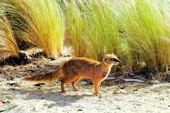 Mangouste jaune, Yellow Mongoose, (claude 22) Tags: roadsafari safaripark woburn bedfordshire uk england animal wildlife nature natural animaux sauvages mangouste jaune yellow mongoose fujinon fuji xf18135mm xt1