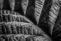 Texture (Kaarel Kaldre) Tags: tekstuur texture leht leaf taim plant loodus nature makro macro mustvalge blackandwhite monochrome noiretblanc outdoor macromondays memberschoicetexture