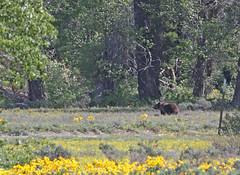 Brown Bear (Ursus arctos horribilis) aka Grizzly Bear (TG23-Birding in a Box) Tags: ursusarctoshorribilis urusarctos brownbear grizzlybear bear grandtetonnationalpark wyoming meadows