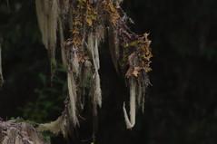 Lichen (Doug Stanley) Tags: lichen tree branch