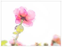 Frieda im Juli (T K -T r a u m L i c h t) Tags: thomas k r u m frieda im juli rose vivis bauerngarten taglilie pentacon 200mm f40