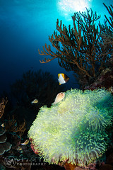 FI_19 (Lea's UW Photography) Tags: underwater indonesia lealee canon5dmk3 wideangle fisheye corals anemone bleach clownfish