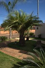 Jataí, Goiás, Brasil (Proflázaro) Tags: brasil goiás jataí calçada palmeira natureza ecologia cidade jardim