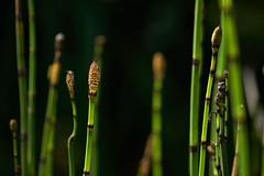 Schachtelhalm - Botanischer Garten, Innsbruck (Ernst_P.) Tags: 105mm aut botanischergarten f28 innsbruck macro österreich pflanze schachtelhalm sigma tirol