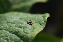 The Voyeur (Frightened Tree) Tags: lady bird ladybird wildlife garden nature leaf leaves bugs insects voyeur wild nikon d3300 wales cymru welsh cymraeg macro 105 sigma bokeh