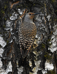 Can You See Me Now? (done by deb) Tags: birds flicker northernflicker