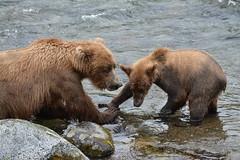 Grazer and Cub (raewynp) Tags: alaska katmainationalpark katmai katmainp bear bears brownbear cubs yearlings grazer 128 brooksfalls brooksriver wildlife ursusarctos