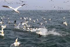 Gannet Feeding Frenzie (robin denton) Tags: morusbassanus gannet gannetry seabirds seabird bird bemptoncliffs yorkshire rspbreserve rspb