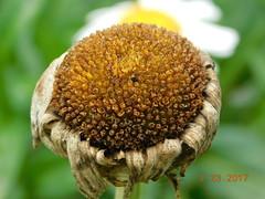 Summer Melancholy (salkowski.dave) Tags: depressed flowers sad sadness daisy death nature fall spring summer