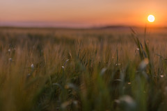 Summer Evening (jasty78) Tags: gold golden sun sunset wheat field fife scotland nikon d7200 sigma350mmf14 bokeh
