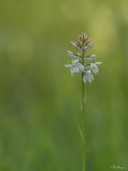 Orchis (Meinersmann, Thomas) Tags: breisgau olympus thomasmeinersmann urlaub orchis omdem5markii 40150mm128pro natur orchidee