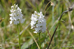 O'Kelly's Spotted Orchid. (mcgrath.dominic) Tags: orchid wildflowers okellysspottedorchid theburren coclare