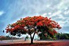 Flamboyan (Carlos A. Aviles) Tags: flamboyan tree arbol poncepuertorico ponce puertorico