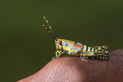 Elegant Grasshopper (Zonocerus elegans) resting on a wrist (Dave Montreuil) Tags: africa elegant vivid zonocerus african arm bright colorful east elegans grasshopper holding insect malawi person resting sitting south warning wrist