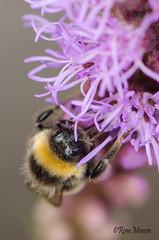 Bee (Rene Mensen) Tags: bee humblebee insect flower purple rene mensen macro nikon nikkor nature thenetherlands drenthe d5100 garden emmen