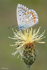 Polyommatus icarus. (valpil58) Tags: polyommatusicarus macro closeup butterflies butterfly farfalle farfalla nikond7200 sigma105mm