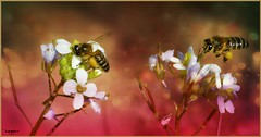 LIVANDO (R.FENOY) Tags: naturaleza insectos abejas