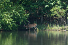 Mom and Babe (Maggggie - Ask about Take Aim Group) Tags: 365 deer water shore lakehorton